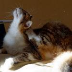 Commet savoir si N°3 - Comment savoir si mon chat a des puces ?