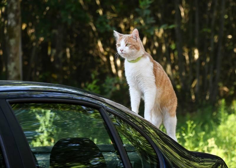 où mettre le chat en voiture ?