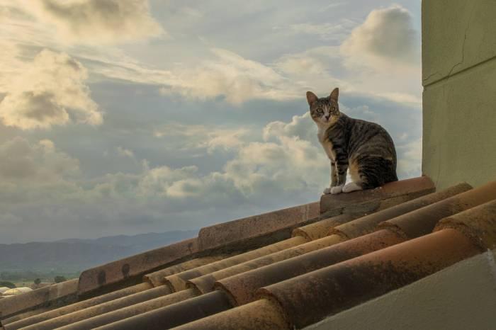chat en chaleur qui s'enfuit sur les toits